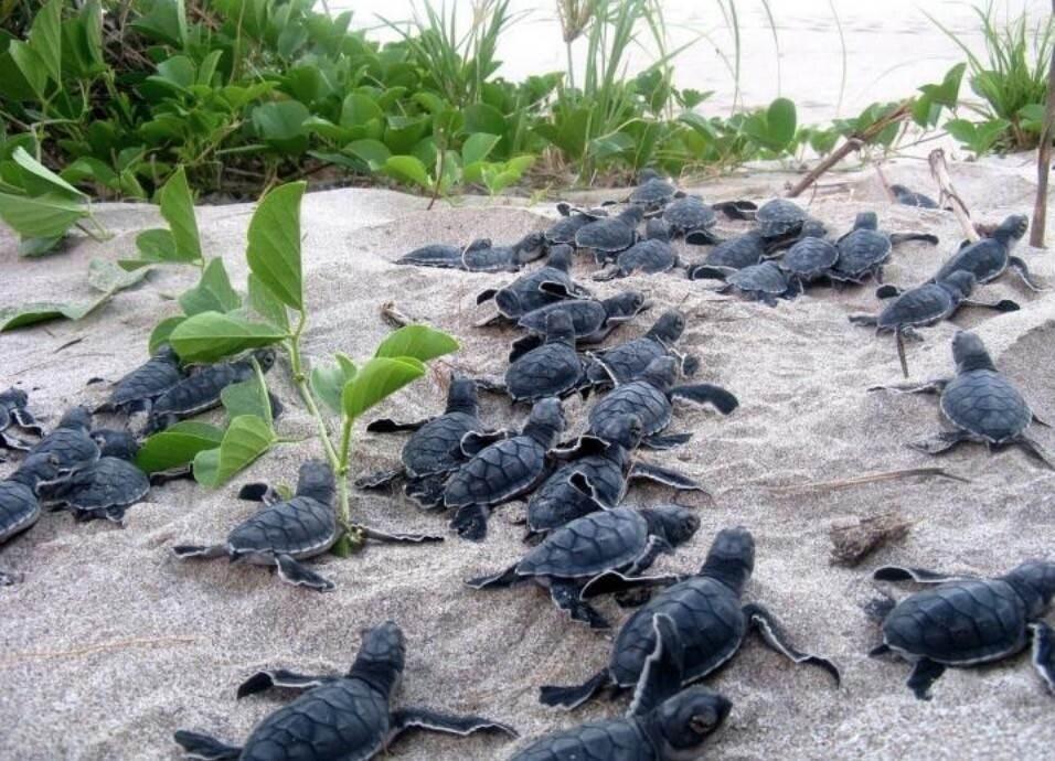 Científicos crean huevos falsos con GPS para combatir el tráfico ilegal de tortugas en Costa Rica (Foto: Xataka)