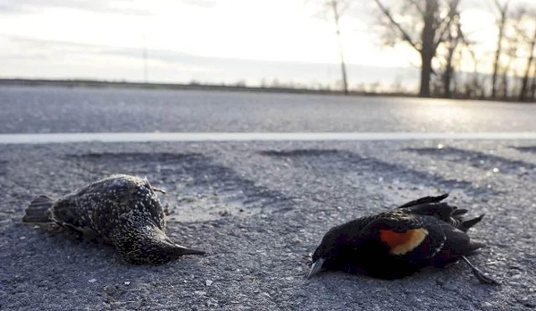 Misterio por las muertes masivas de pájaros en Estados Unidos