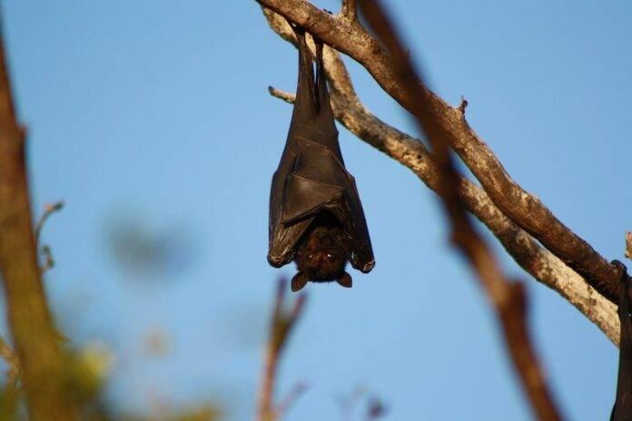 El coronavirus lleva décadas entre los murciélagos (Foto: Ambientum)